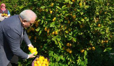 Erdemli Belediyesi, limonata fabrikası kurmak için çalışma yapacak