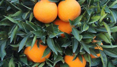 Mersin, turunçgilde ürün kayıplarını en aza indirmek için harekete geçti