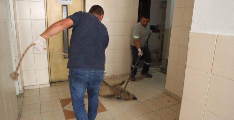 Kent merkezinde yaralı domuz panik yarattı
