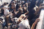 ALANYA'DAN MERSİN'E BIRAKILMAK ÜZERE KAMYONLA GETİRİLEN 70 KÖPEK GERİ GÖNDERİLDİ
