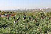 Korona günlerinde enginar hasadı