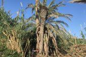 Yenişehir'de Palmiye Kırmızı Böceği Tespit Edilen Ağaçlar İmha Edildi