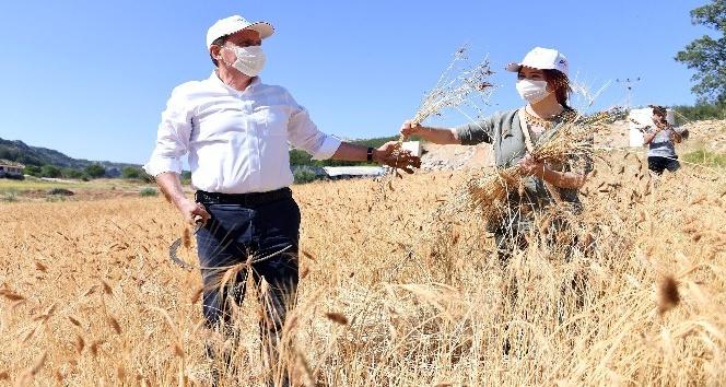 Ata tohumu sarı buğdayın ilk hasadı yapıldı