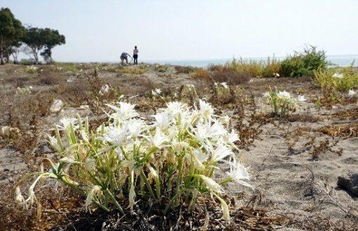 Akdeniz Belediyesi, Kum Zambaklarını Koruma Altına Aldı